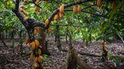 Les cacaoyers, devant pousser à l'ombre des feuillus, offrent des perspectives de reforestation viables