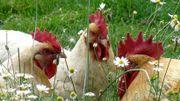 Les poules pondeuses stars du confinement