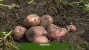 Récolte et conservation des pommes-de-terre