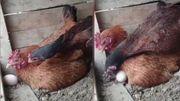 Une poule pondeuse rappelée à l'ordre par une collègue bienveillante