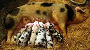 La filière porcine wallonne, l'enquête de Jacques Graye