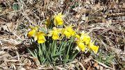 Les jonquilles, symboles de l'arrivée prochaine du printemps, toujours appréciées des promeneurs.