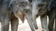 Vous pouvez Zoomer avec des éléphants de Thaïlande et aider à leur sauvegarde