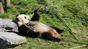 La consommation de bambous de Hao Hao  a augmenté pendant plusieurs semaines