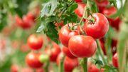 Est-ce le bon moment de semer vos tomates ?