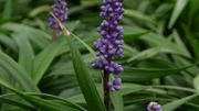 La liriope, une plante capricieuse qui fleurit quant elle le décide...