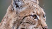 Le lynx a été observé pour la première fois depuis très longtemps en Belgique  AFP / Sébastien Bozon