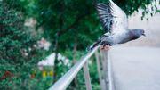 Comment éloigner les pigeons ?
