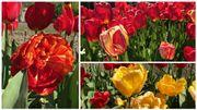 Plusieurs variétés de tulipes constituent le jardin secret d'André De Merlier