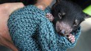 Diable de Tasmanie: première naissance depuis3000 ans de bébés sauvages en Australie continentale