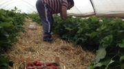 La cueillette commence dès 6 heures du matin chaque jour.