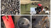 Les eaux plus claires de la Meuse sont le résultats de la filtration intense de millions de mollusques invasifs qui se nourrissent de plancton.