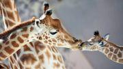 4 espèces de girafes sur Terre et non une seule, révèle une étude