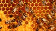 La propolis, cette merveille de la ruche