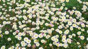 Embellissez votre jardin, plantez des pâquerettes