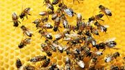 Apithérapie : du venin d'abeille pour soigner vos rhumatismes ?