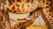 Naissance du petit girafon Valeye au ZOO Planckendael