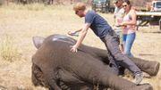 La Prince Harry s'investi beaucoup pour les animaux, ici avec un éléphant dans une réserve du Malawi