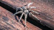 Une araignée géante dans la collégiale de Soignies. D'où vient la rumeur ?