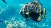 Plus de deux millions de touristes se pressent chaque année pour admirer les «habitants» de la barrière de corail. L'industrie touristique est florissante.