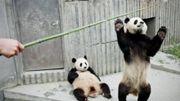 Les pandas raffolent du bambou