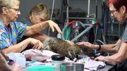 Des chiens renifleurs pour sauver les koalas des incendies en Australie
