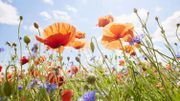 Semez des fleurs sauvages et apportez de la couleur au jardin!