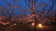 Les cerisiers familiaux ont aussi droit à des bougies chauffantes pour protéger leurs belles fleurs