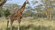 Au Kenya, une girafe a été sauvée des eaux sur une île