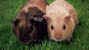 Une pub avec cochons d'Inde pour la prévention du cancer des testicules