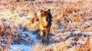 La présence d'un loup dans les Hautes-Fagnes est à nouveau confirmée