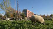 Une solution pour nos espaces urbains bétonnés : le troupeau de moutons des villes !