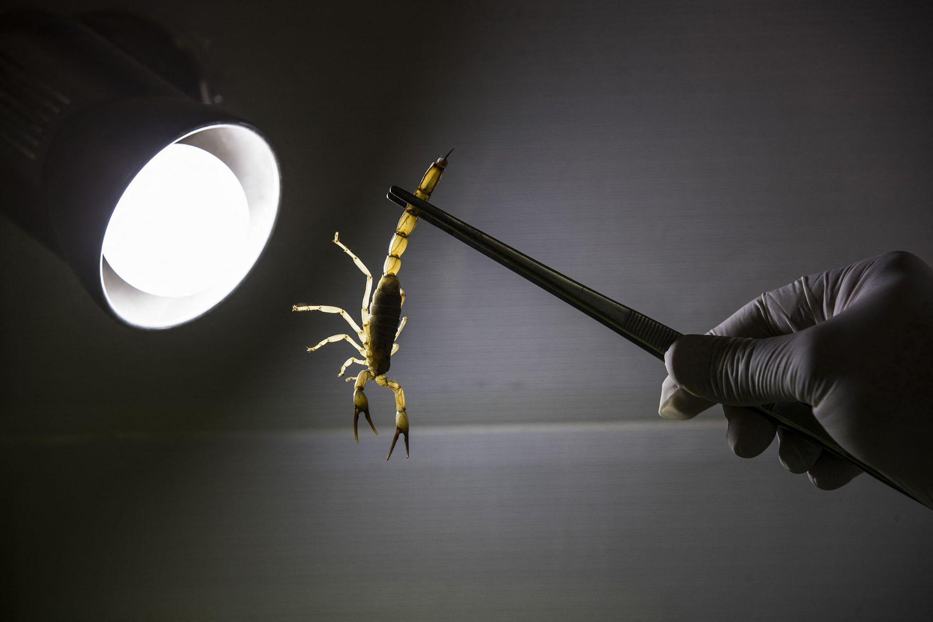 Le venin de scorpion, cette puissante toxine au potentiel prometteur pour la recherche
