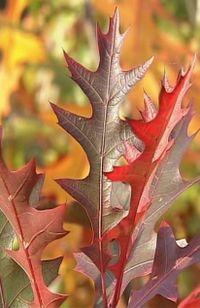 Quercus texana 'New Madrid', chêne d'Amérique, encore très rare dans les pépinières en Europe
