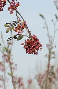 Sureau au fruit rose - Sorbus pseudohupehensis 'Pink Pagoda'