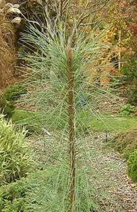 Pinus ponderosa 'Pendula, silhouette étonnante au port transparent