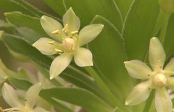 Quel que soit son stade de développement, la fleur offre une belle présence