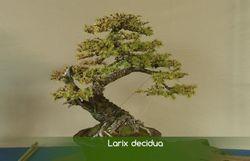 L'if, l'essence idéale pour démarrer l'art du bonsaï