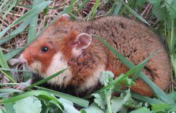 Des hamsters dans les plaines d'Alsace