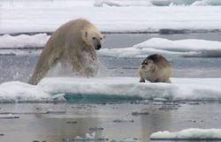 le phoque, principale nourriture pour l'ours populaire