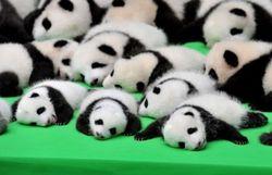 Bébés panda : un documentaire animalier captivant