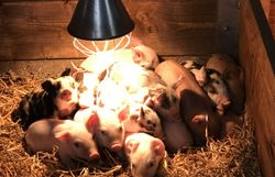 Porc wallon : une autre vie pour les cochons ?