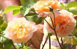 Quel est le point commun entre une rose et une brique de savon ?