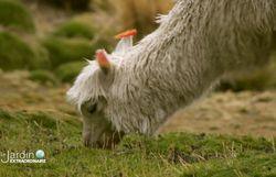 on peut y apercevoir lamas