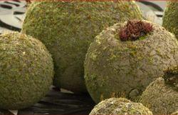 Sphères en hypertufa recouvertes de mousse