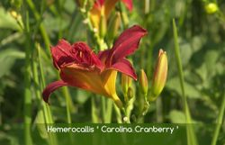 Un amour de plantes : Hemerocallis 'Carolina Cranberry'