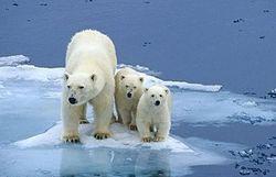 Maman Ourse va-t-elle encore pouvoir subvenir aux besoins des ses oursons ?