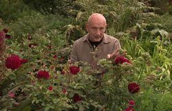 LA rose parfaite :  'Munstead Wood'