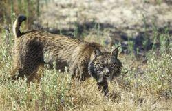 La réintroduction du lynx en Espagne