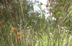 Muhlenbergia rigens - une graminée très graphique